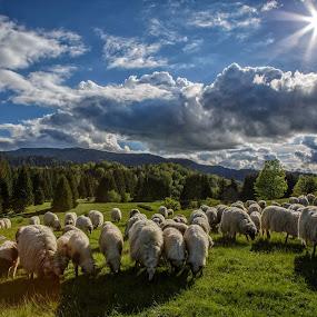 A flock of sheep going back home by Stanislav Horacek - Landscapes Prairies, Meadows & Fields