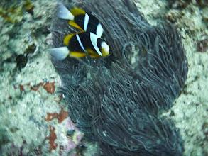 Photo: Nemo on the coral reef in Praia de Tofo / Nemo na útesu v Praia de Tofo