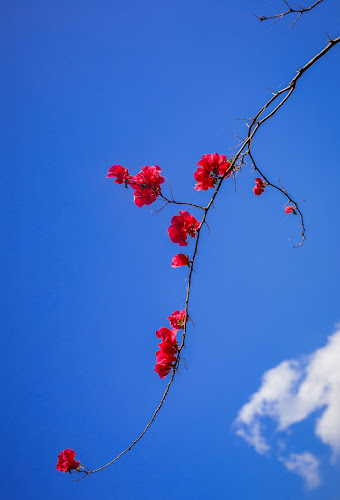 Red In Blue by Tuan Pham - Flowers Flower Gardens ( red, blue )