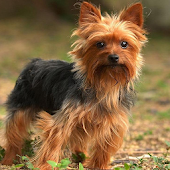 Yorkshire Terriers Jigsaw Game
