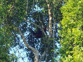 Photo: Second wild orangutan in one day!