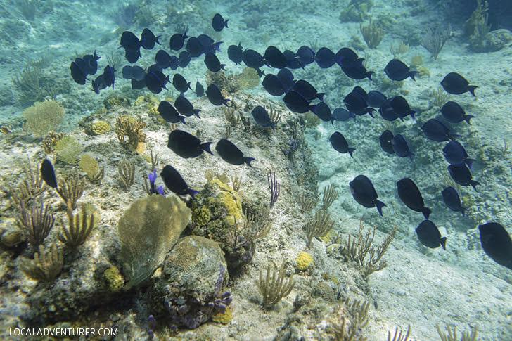 Blue Tang Fish - Snorkeling Turks and Caicos Island.