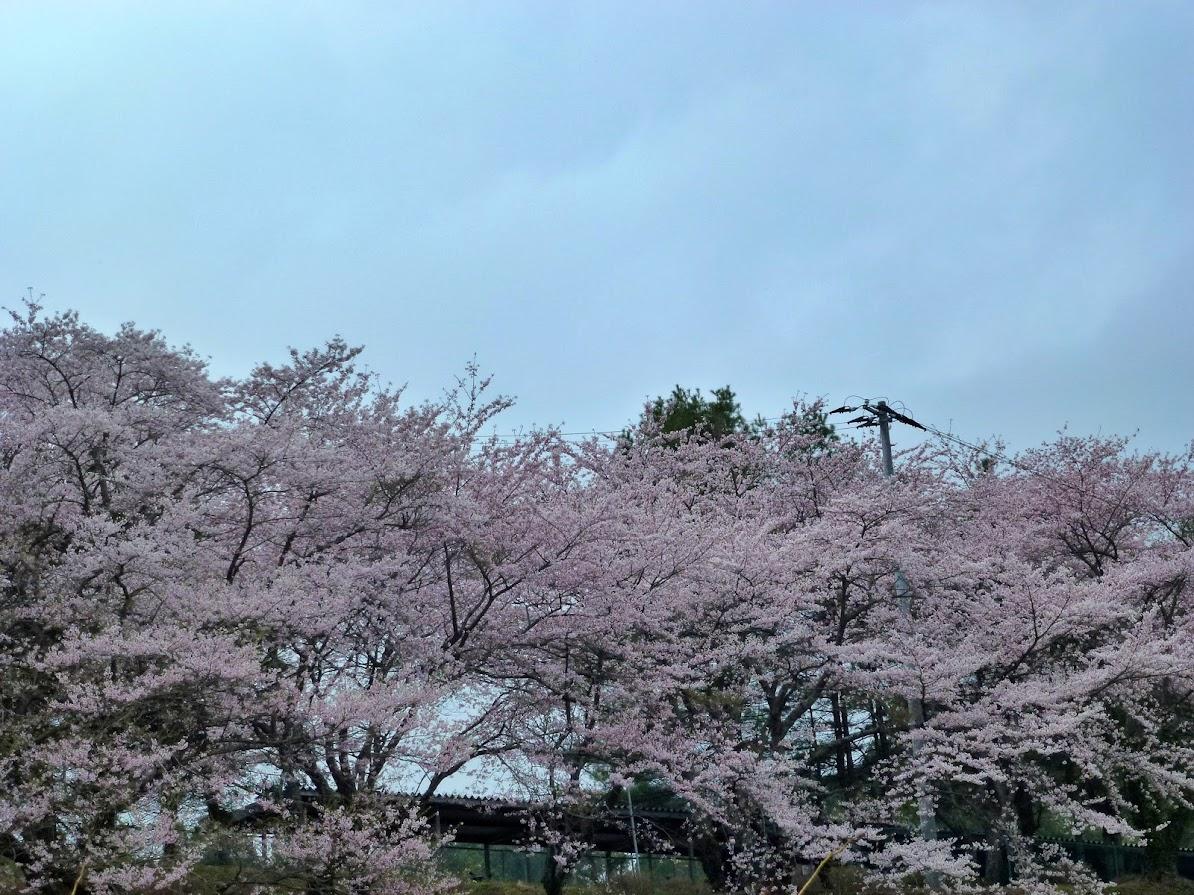 志津川高校の桜並木(2012.4.26)写真3