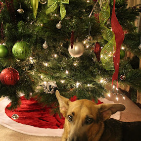 Gracie offical christmas photo by Monica Walker - Animals - Dogs Portraits