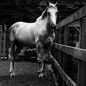 Horse  by Claudio de Freitas Photography - Black & White Animals ( mobilography, london, black and white, horse, claudiodefreitasphotography, photooftheday,  )