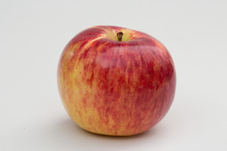 Photo: 'Oriole' apple developed by the University of Minnesota, Agricultural Experiment Station.  Released in 1949.  Ripens early and has a short storage life.