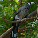 blue-faced malkoha / small green-billed malkoha