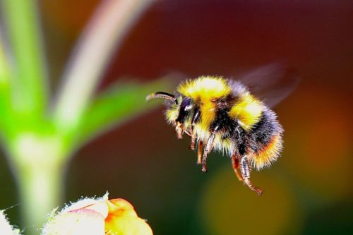 Bumble Bee Watch citizen science project this Valentine's Day