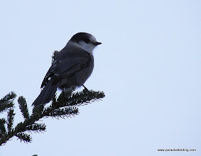 Photo: Gray Jay