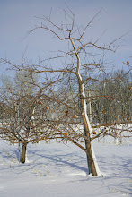 """Photo: 'Frostbite' apple developed by the University of Minnesota and released by the U of MN Agricultural Experiment Station in 2008. The parent tree is pictured here at the U of MN Horticultural Research Center.  Ripens first week of October in Minnesota.  Extremely cold hardy, survives in USDA zone 3A. Minnesota Agricultural Experiment Station project #21-016, """"Breeding and Genetics of Fruit Crops for Cold Climates,"""" principal investigator: James J. Luby.  David Bedford: scientist, apple breeder."""