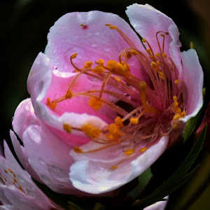 Fish Eye Blossom.jpg
