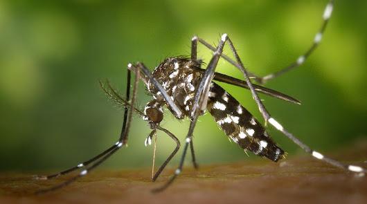 Invasión del mosquito tigre: se hace fuerte en el poniente, la capital y el Cabo
