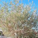 Golden Willow