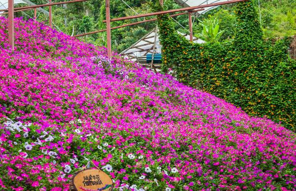 Cameron Lavender Garden