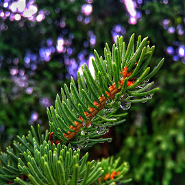 by Crinel Marian - Nature Up Close Trees & Bushes ( pine needles, water drops,  )
