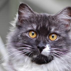 the yellow eyes... by Bop Aurelio - Animals - Cats Portraits