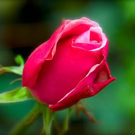 Rosie by Ken Nicol - Flowers Flower Buds (  )