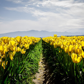 Yellow by Jenny Hammer - Flowers Flower Buds ( spring, pretty, flowers, tulips, yellow,  )