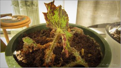 Photo: Begonia Rex -  De pe Calea Victoriei, B15, ap.8 - 2019.03.23