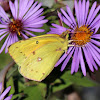 Clouded Sulphur Butterfly (Common Sulphur)