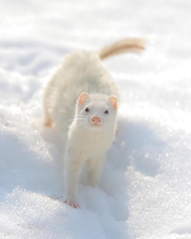 Do Ferrets Change Color?