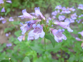 Photo: Penstemon
