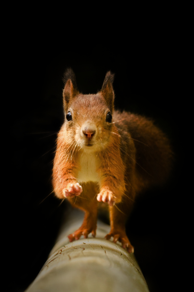 Photo: Red Squirrel - On The Run