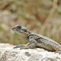 Star lizard