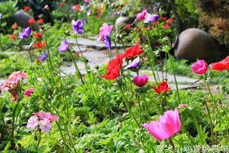 Photo: 拍攝地點: 梅峰-溫帶花卉區 拍攝植物: 白頭翁 拍攝日期: 2015_01_15_FY