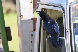 Photo: White-necked Crow