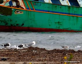 Photo: Gulls (Gabbiani spp.) loafing at Marzamemi, northeast of Pachino