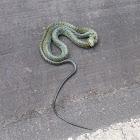 Amazon puffing snake