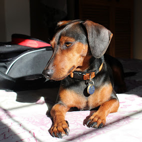 by Nico Ebersohn - Animals - Dogs Portraits ( black, tag, brown, dog, dog portrait,  )