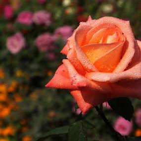 Colorful Love ! by Debartist Lightpainter - Flowers Flower Gardens