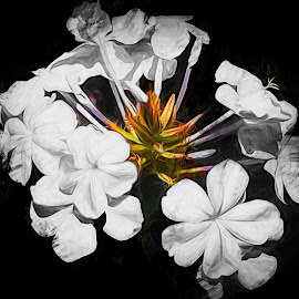 Study In White by Dave Walters - Digital Art Abstract ( nature, lumix fz2500, flowers. macro, colors )