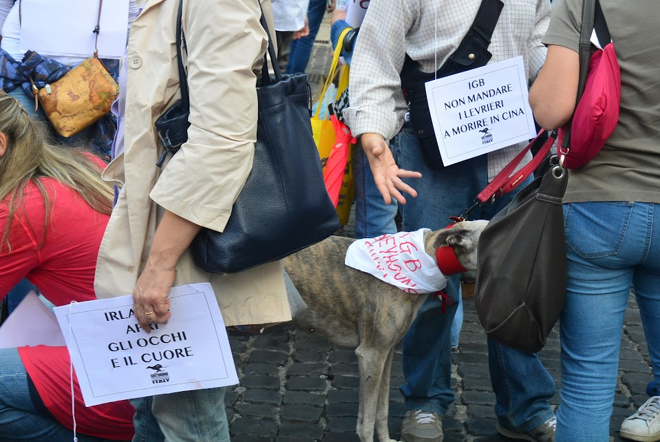 Non mandare i levrieri a morire in cina // do not send the greyhounds to die in China