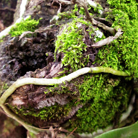 orchid roots and moss in the nutmeg tree by Jumari Haryadi - Nature Up Close Other Natural Objects ( tree, fresh, root, green, natural )