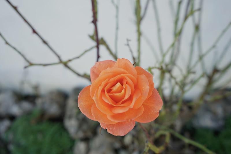 Una rosa a Gennaio di LucaC