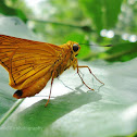 Plain palm dart