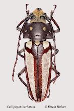 Photo: Callipogon barbatum (2), 46 mm, Costa Rica, Esquinas Rainforest (08°42´/-83°12´), leg. & det. Erwin Holzer