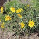 Cusick's sunflower