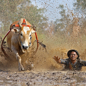 Cow Race ~ The Fall by Annemarie Rulos  - People Street & Candids ( batusangkar, cow race, sumatra, indonesia, padang, pacu jawi,  )