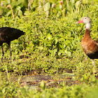 Glossy Ibis and Black-bellied Whistling Duck