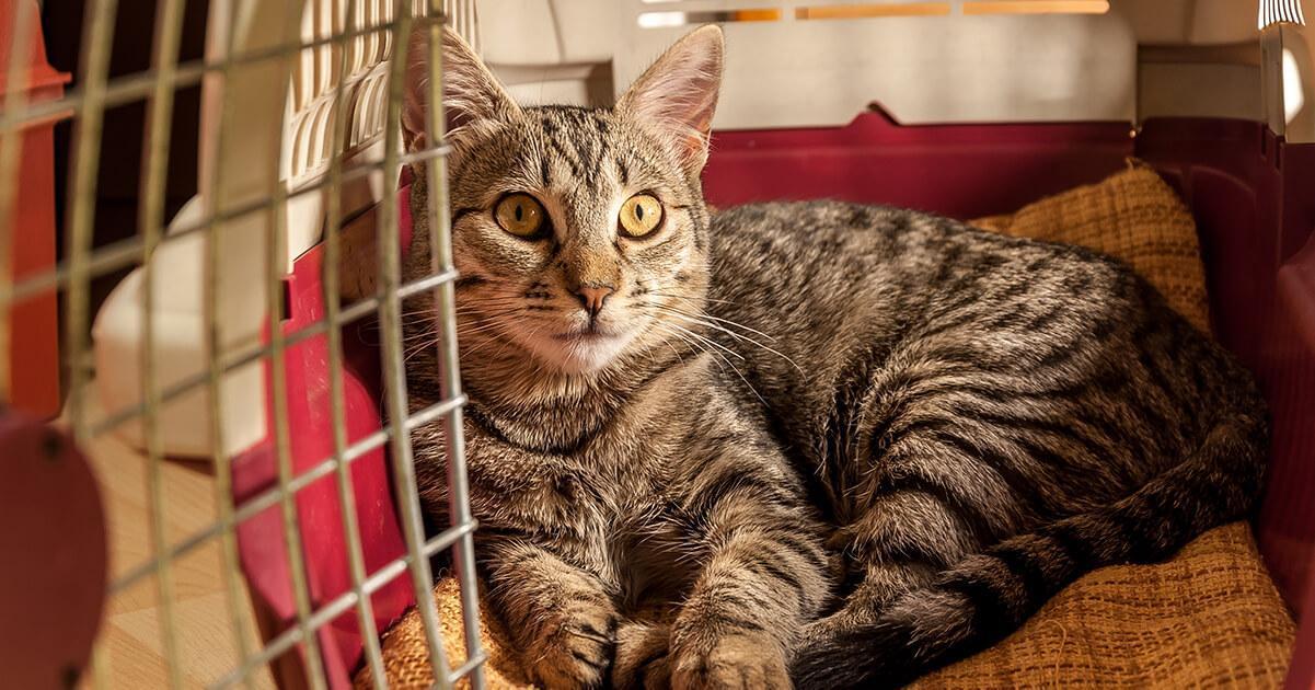 évitez de sortir votre chat de sa caisse de transport tant que vous n'êtes pas arrivés