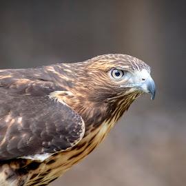 Red-tailed hawk by Debbie Quick - Animals Birds ( raptor, birds of prey, red-tailed hawk, debbie quick, outdoors, nature, bird, animal, hawk, wild, debs creative images, wildlife )