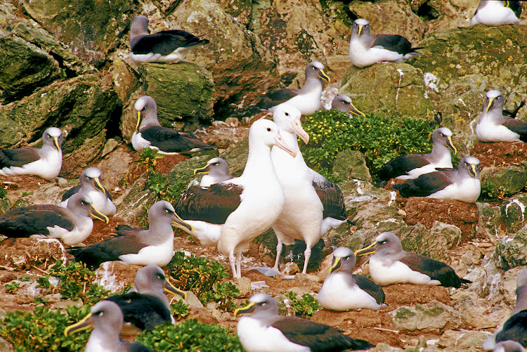 A pair of northern royal albatross in a colony of Buller's albatross, on New Zealand's Chatham Island. Picture: AUSCAPE/UIG VIA  GETTY IMAGES