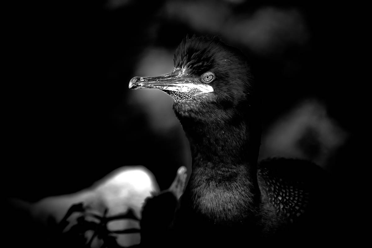 Photo: A Shag Nesting  One of the things I love about the Farne Islands is how close you can get to the birds during breeding season, for all this image was taken at 200mm, pretty much anyone with a compact camera will be able to get a shot they are happy with (see my previous post which I took with my iPhone - https://plus.google.com/111835024921462866899/posts/187LVwRkRcJ ). Just a pity that the Islands aren't heavily populated with all the species all year round..