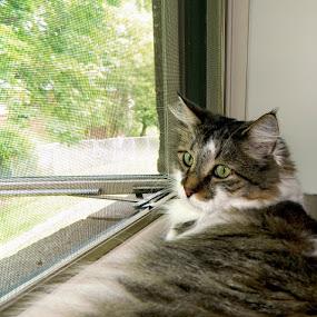 Bird Watcher by Darcie Wright - Animals - Cats Portraits ( louie cat bird watcher kitty  maine coon )