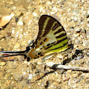 Euphrates Swordtail