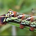 Banded Sphinx Moth Caterpillar